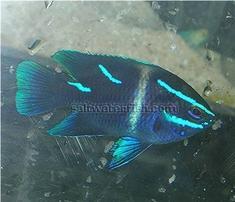 Javanese (Blue Velvet) Damsel