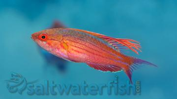 Blue Flasher Wrasse
