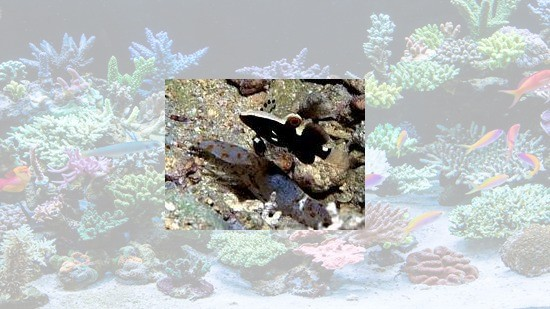 White Cap Goby & Shrimp: Pair