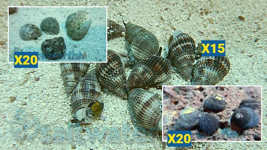 Featured Clean Up Crew 20 Tropical Turbo Snails, 20 Margarita Snails, 15 Large Nassarius Snails