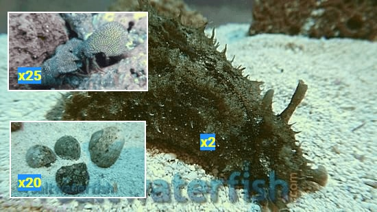 Featured Clean Up Crew 20 Tropical Turbo Snails, 25 Red Leg Hermit Crabs, 2 Dolabella Sea Hares