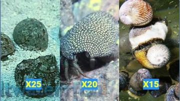 Featured Clean Up Crew 25 Tropical Turbo Snail, 20 Red Leg Hermit Crabs, 15 Nerite Snails