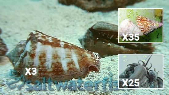 Featured Clean Up Crew 35 Turbo Astrea Snails, 25 Green Leg Reef Hermit Crabs, 3 Tiger Sand Conch
