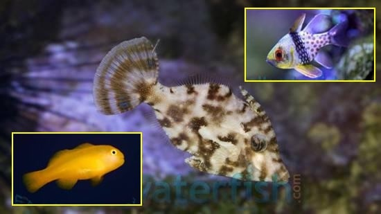 Featured Fish Super Pack 1 Aiptasia Eating Filefish, 1 Pajama Cardinal, Yellow clown Goby