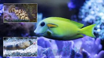 Featured Fish Super Pack 1 Orange Shoulder Tang (Tiny), 1 Aiptasia Eating Filefish, 1 Watchman Goby