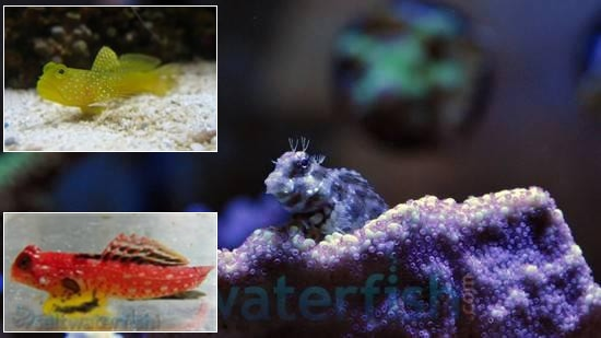Featured Fish Super Pack 1 Ruby Red Dragonette, 1 Lawnmower Blenny, 1 Yellow Watchman Goby
