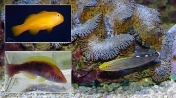 Featured Fish Super Pack 1 Tricolor Fairy Wrasse, 1 Rainford's Goby, 1 Yellow Clown Goby