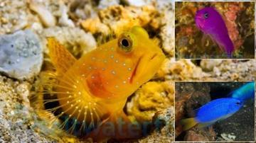Featured Fish Super Pack 1 Yellow Watchman Goby, 1 Purple Pseudochromis, 1 Electric Blue Damsel