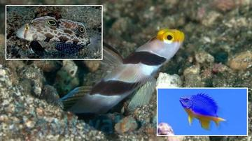 Reef Safe Fish Trio! 1 Barbershop Goby, 1 Twinspot Goby, 1 Kupang Damsel