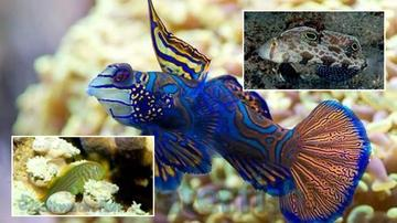 Reef Safe Fish Trio! 1 Green Mandarin Goby, 1 Twin Spot Goby, 1 Green War Paint Clown Goby