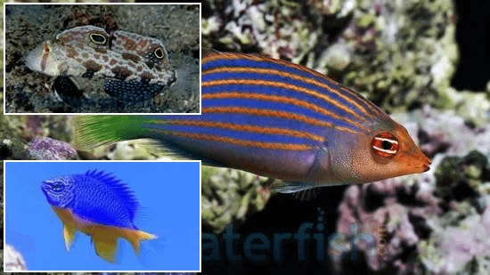 Reef Safe Fish Trio! 1 Six Line Wrasse, 1 Twinspot Goby, 1 Kupang Damsel