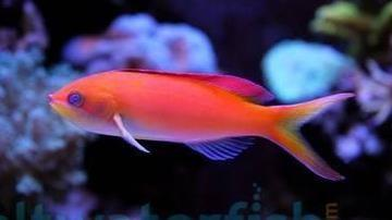 Dispar Anthias - Female - Marshall Island