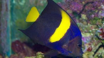 Asfur Angelfish - Red Sea