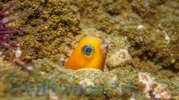 Midas Blenny: Golden - Africa
