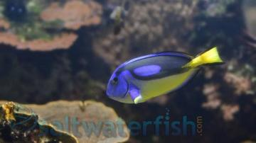 Blue Hippo Tang - Yellow Belly