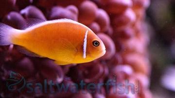 Pink Skunk Clownfish