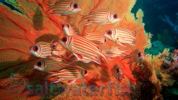Samurai Squirrelfish