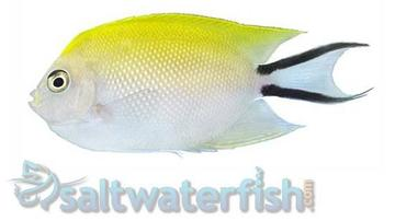 Japanese Swallowtail Angelfish: Female