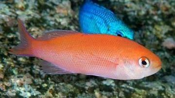 Waitei (Sherbert) Anthias - Marshall Island
