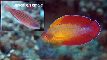 Eight Line Flasher Wrasse - Red Sea