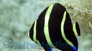 Black (Grey) Angelfish: Changing