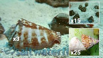 Clean Up Crew Super Special 25 Astrea Turbo Snails, 15 Bumble Bee Snails, 3 Tiger Sand Conchs