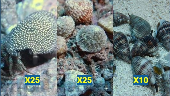 Featured Clean Up Crew 25 Astrea Snails, 25 Red Leg Hermits, 10 Large Nassarius Snails