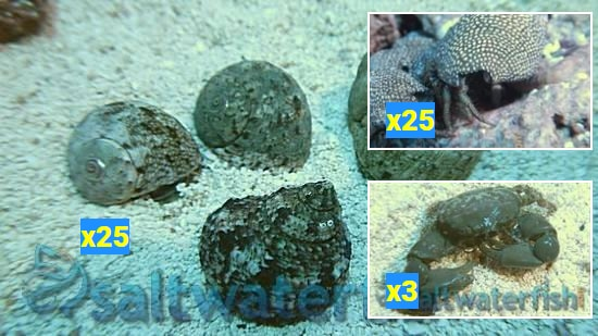 Featured Clean Up Crew 25 Tropical Turbo Snails, 25 Red Leg Hermit Crabs, 3 Emerald Crabs