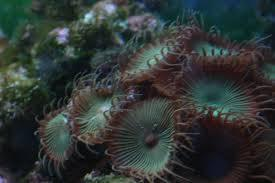 Button Polyp (Palythoa): Color