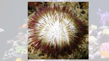 Pink Urchin - Atlantic
