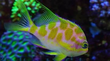 Borbonius (Blotchy) Anthias