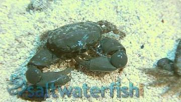 Emerald Crab - Group Of 3