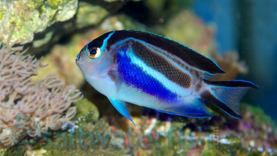 Bellus Angelfish: Male