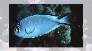 Watanabei Angelfish: Female