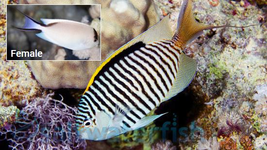 Zebra Angelfish Female Angelfish Large Saltwater Fish