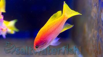 Bimaculatus Anthias: Female