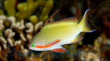 Huchtii Anthias: Male