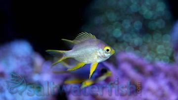 Staghorn Damsel - Yellow