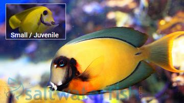Yellow Mimic (Chocolate) Tang - Central Pacific