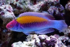 Orange Back Fairy Wrasse: Male
