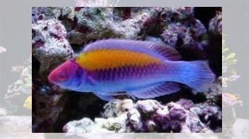 Orange Back Fairy Wrasse: Male - Super Special