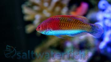 Purple Scale Fairy Wrasse: Male
