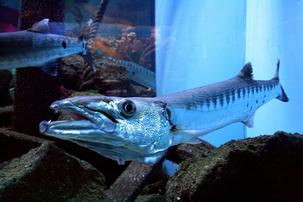 Barracuda - Captive Bred
