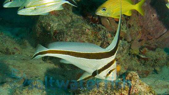 Jackknife Fish
