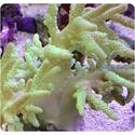 Finger Hard Leather Coral