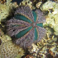 Blue Tuxedo Sea Urchin