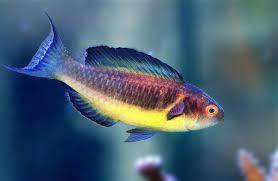 Brunneus Fairy Wrasse: Male