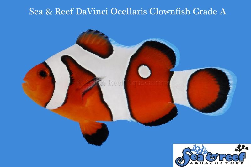 Snowflake ocellaris clown davinci captive bred grade a for Clown fish size