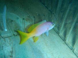 Pictilis Anthias: Female - Australia