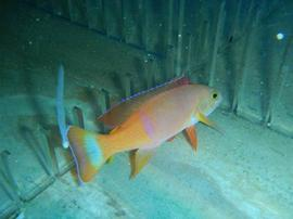 Pictilis Anthias: Male - Australia